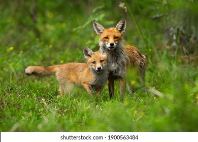 Young red fox, vulpes vulpes, cub cuddling with its mother in spring nature. Juvenile mammal with orange fur standing close to its protective parent. Concept of animal family and love.