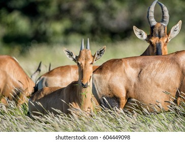 A young Red Hartebeest resting with a family group in Southern African savanna