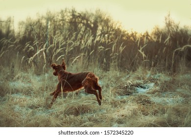 Young Red Irish Setter in thу Autumn