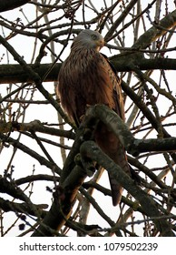 Young red kite in tree.