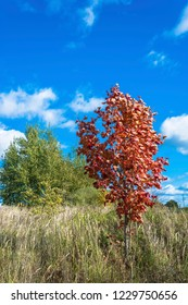 Young red maple on a background of green trees and blue sky with clouds, Russia.