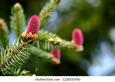 Young red spruce cones on the branches
