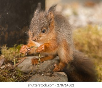 young red squirrel with plant in hands