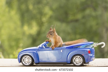 young red squirrel sitting in a blue car with another behind