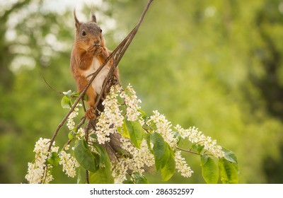 young red squirrel standing on a branch with flowers