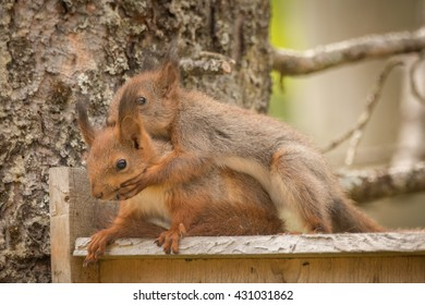 young red squirrels holding each other