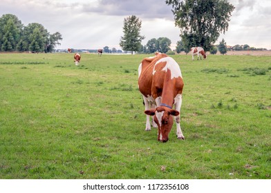 Young red-and-white cow in the foreground eats fresh green grass on the floodplains of a river. The cow has a collar for the automatic cow identification system. It is a cloudy day in the summertime.