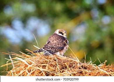 young red-footed falcon sitting on hay
