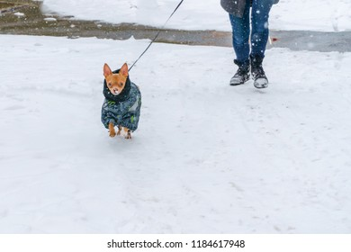 a young red-haired thorough-bred little Chihuahua on a cold winter day in warm clothes walks with his mistress across the ulez, marked by white deep snow