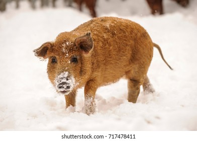 A young red-headed pig walking through the snow on a farm. Breed Hungarian mangalitsa. The concept of animals and nature.