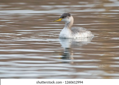 Young Red-necked Grebe swimming in the open water. Humber Bay Park, Toronto, Ontario, Canada.