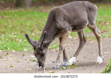 young reindeer search for food near a meadow