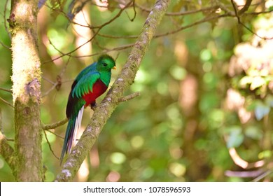 Young Resplendent Quetzal in tropical forest in Costa Rica