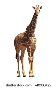 Young Reticulated Giraffe isolated on white background