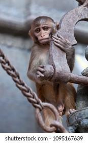 Young rhesus macaque monkey at Swayambhunath temple, Kathmandu valley, Nepal