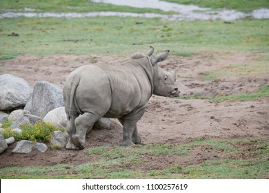 Young Rhinoceros peering out