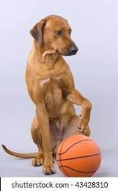 young rhodesian ridgeback male in front of white background with his paw on an orange basketball, looking with funny expression to the side