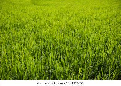 Young rice plant in rice field at Thailand. Background