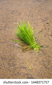 Young rice sprout ready to growing in the rice field. Young rice sprout ready to growing in the rice field - a paddy sprout for transplanting in rainy season