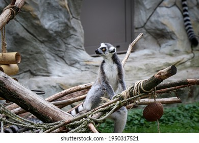 young Ring-tailed Lemur sits astride a small wooden log and watches its mother. Monkey with a clear license plate. Long, black and white ringed tail. Playful and wild lemurs. Lemur catta.