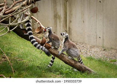 young Ring-tailed lemur sits attentively behind its mother, waiting to see if they need a good piece of food. Organized and well-behaved children Lemur catta. Obedience, balance. Family of lemur.