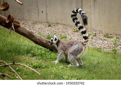 young Ring-tailed Lemur tries to annoy its older sibling to some chase or battle. Restless teenager Lemur catta roams the park.