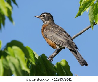 Young robin in a tree.