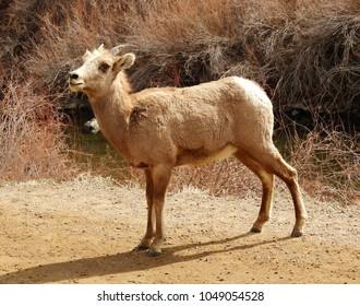 young rocky mountain bighorn sheep  ewe standing  along the south platte river  in waterton canyon, littleton, colorado