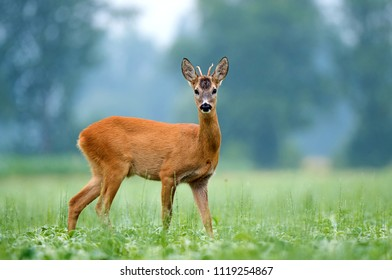 Young roe buck standing in a field
