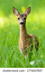 Young roe deer, capreolus capreolus, fawn standing on meadow during the spring from front view. Lovely doe looking into camera on field with tall green grass.