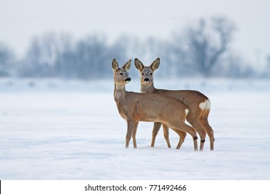 Young Roe deer Capreolus capreolus in winter. Deer with snowy background. Wild animals interacting standing close together.