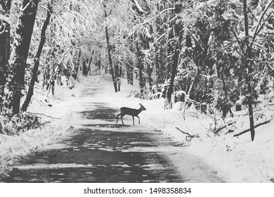 Young roe deer crossing a road in a winter snow covered forest. Black and white, film cinematic imitation.