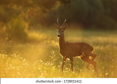 A young Roe deer in the Meadow Full of flowers during sunrise. In the background is forest.