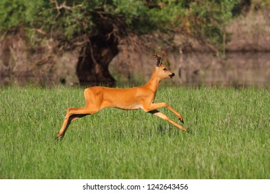 Young roe deer quickly runs along the river on the green grass of the floodplain meadow