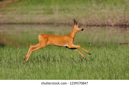 A young roe deer runs along the lake in a floodplain meadow with green grass, in a jump, tearing off all its feet from the ground