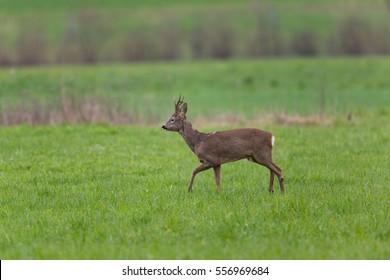 Young roebuck standing in green meadow