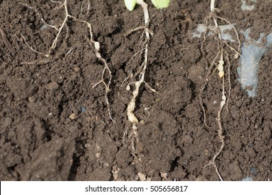 Young roots invadeded by Plasmodiophora on farm
