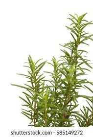young rosemary plant isolated on white background