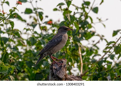young rosy Starling (Pastor roseus) is a passerine bird in the starling family, Sturnidae, also known as the rose-coloured starling or rose-coloured pastor. Capture at open field in Malaysia.