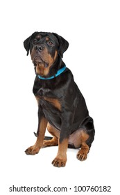 Young rottweiler in front of a white background