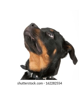 Young rottweiler looking up - isolated on a white background