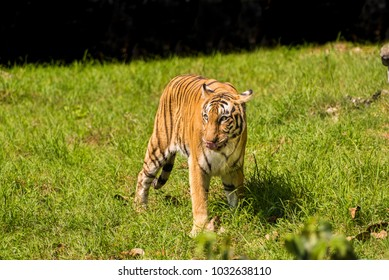 young Royal Bengal Tiger playing in green grassy meadows.