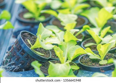 Young Rucola plants, Young rockets, Rucola sprouts, Spring Seedlings. Healthy Vegetable.