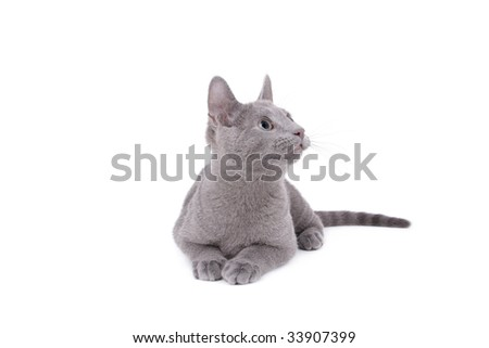 Young Russian Blue Male Cat On Stock Photo Edit Now 33907399