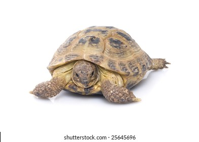 A young Russian Tortoise (Agrionemys horsfieldii)