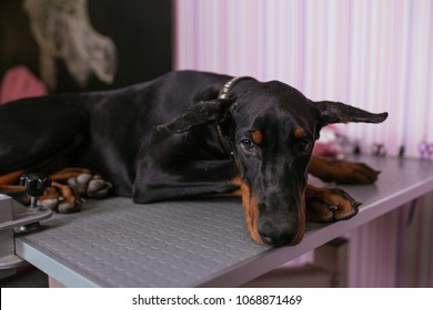 Young and sad purebred doberman puppy getting veterinary treatment because of cropped ears. Dog cropping.