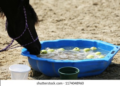 Young saddle horse drinking water from blue colored plastic bucket. Thirst during hot summer day at animal farm rural scene