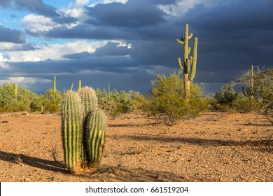 Young saguaros.  A desert scene with young saguaros in the foreground.