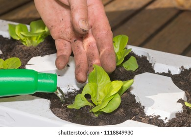 Young salad in soil is planted and poured by hand