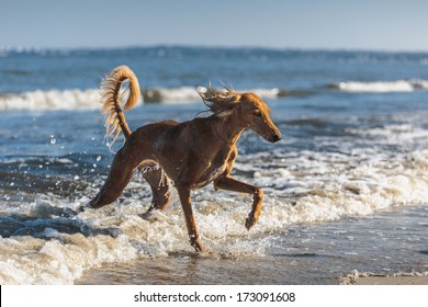 Young saluki (persian greyhound) playing be the sea. Baltic Sea